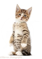 Tabby kitten standing up on haunches