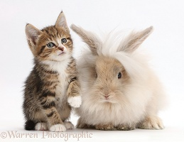 Tabby kitten with fluffy bunny