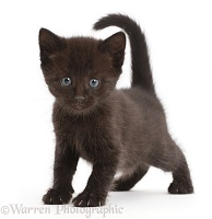 Black kitten walking standing with tail up