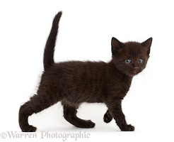Worried looking black kitten walking