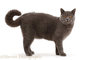 Blue British Shorthair cat standing with curled tail