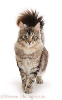 Silver tabby fluffy cat walking with tail erect