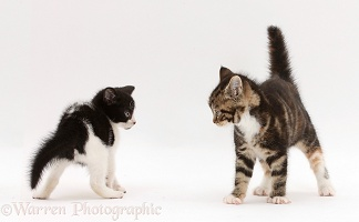 Kittens menacing each other during play