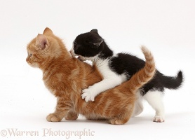 Black-and-white kitten playfully attacking ginger kitten
