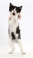 Black-and-white kitten standing on hind legs