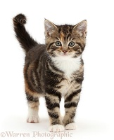 Tabby kitten standing with tail erect