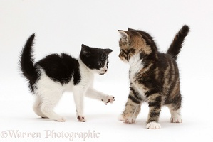 Black-and-white kitten inviting tabby kitten to play