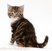 Tabby-tortoiseshell kitten sitting and looking over shoulder