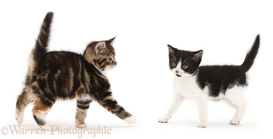 Black-and-white kitten facing tabby kitten