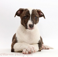 Lurcher pup with crossed paws
