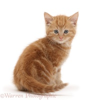 Ginger kitten looking over shoulder
