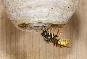 Queen wasp entering nest