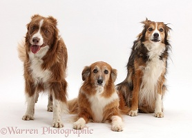 Three assorted collie-cross dogs