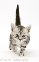 Silver tabby kitten walking