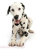 Playful Dalmatian dog