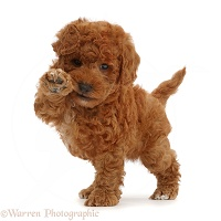 F1b toy goldendoodle puppy holding paw up