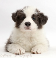 Blue-and-white Border Collie puppy