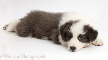 Blue-and-white Border Collie puppy with chin on floor