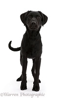Black Labrador dog standing