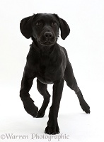 Black Labrador dog walking