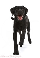 Black Labrador dog trotting