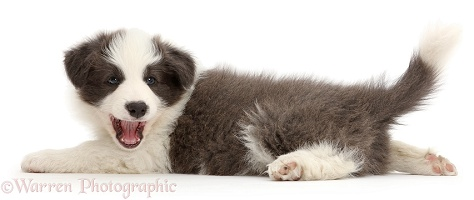 Blue-and-white Border Collie puppy stretched out playful
