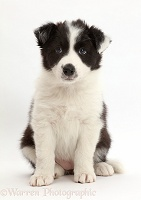 Black-and-white Border Collie puppy sitting