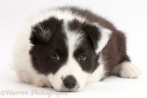 Black-and-white Border Collie puppy with chin on floor