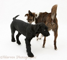 Dog showing agression with hackles raised
