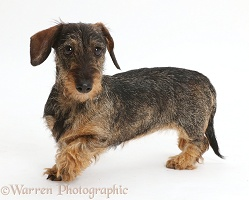 Wire haired Dachshund walking across