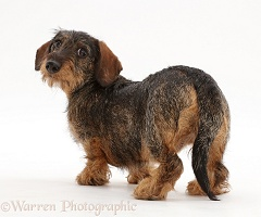 Wire haired Dachshund looking over shoulder