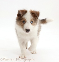 Sable-and-white Border Collie puppy walking
