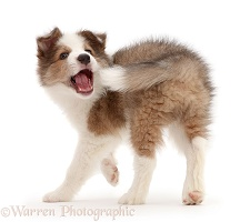 Sable-and-white Border Collie puppy chasing his tail