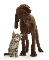 Tabby kitten looking up at chocolate pointer puppy