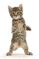 Tabby kitten standing with raised paws