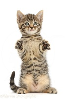Tabby kitten sitting up with raised paws