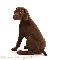 Pointer puppy looking over shoulder