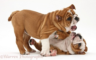 Playful Bulldog pups, 11 weeks old