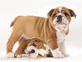 Bulldog pups, 8 weeks old