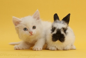 White kitten with black-and-white bunny