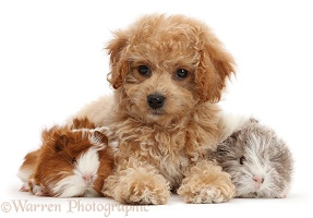 Cavachondoodle pup and Guinea pigs