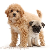 Cavachondoodle pup and pug pup