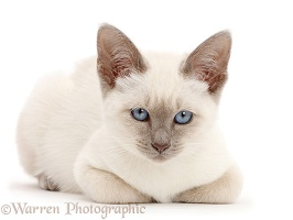 Blue-point kitten