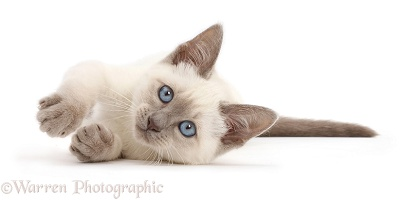 Blue-point kitten lying on her side