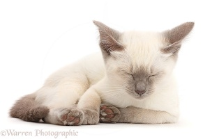 Blue-point kitten dozing