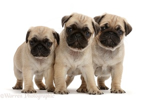 Three pug pups
