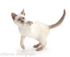 Playful Blue-point kitten