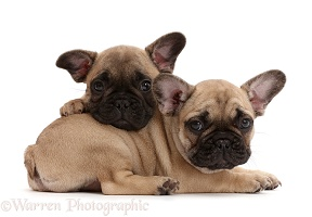 Two French Bulldog puppies, 7 weeks old