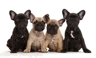 Four French Bulldog puppies, 7 weeks old