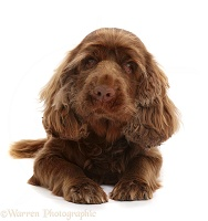 Sussex Spaniel sitting, lying with head up